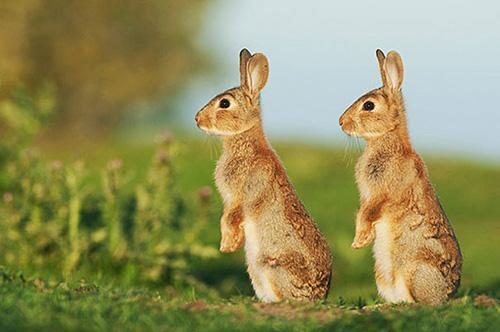 lapins jumeaux
