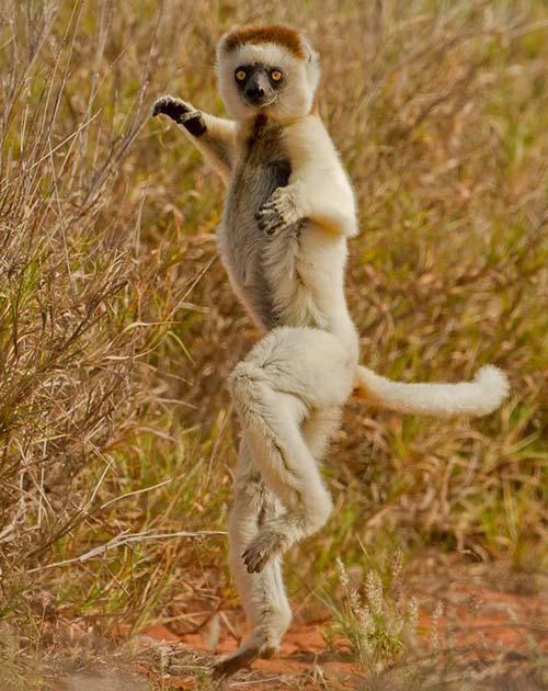lemurien ninja
