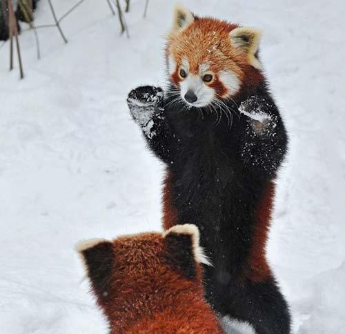 panda roux ninja