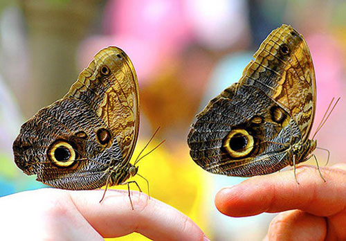 papillons jumeaux