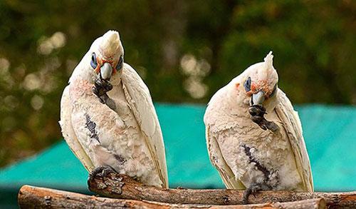perroquets jumeaux