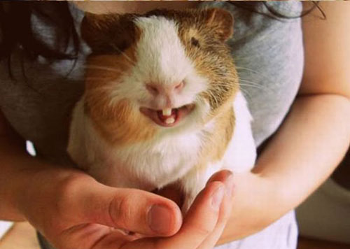 sourire cochon dinde