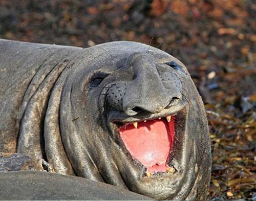 sourire éléphant de mer
