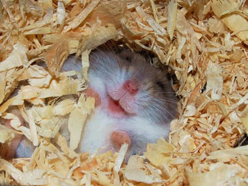 sourire hamster