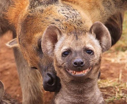 sourire hyene