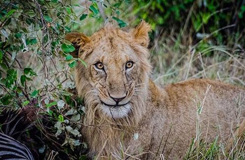 sourire lionne