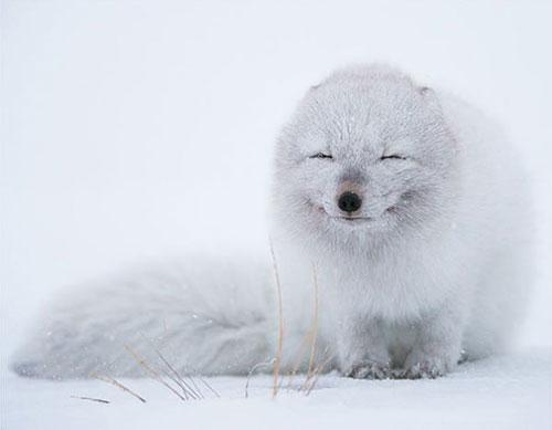 sourire renard