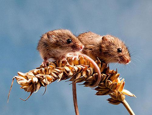 souris jumelles
