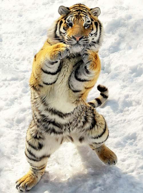 tigre ninja
