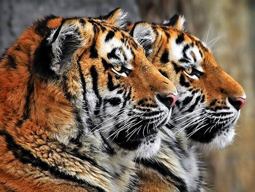 tigres jumeaux