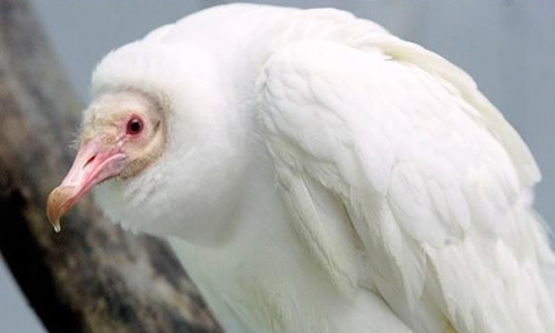 vautour albinos