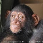 Willy, nouveau jeune chimpanzé du sanctuaire de Tchimpounga