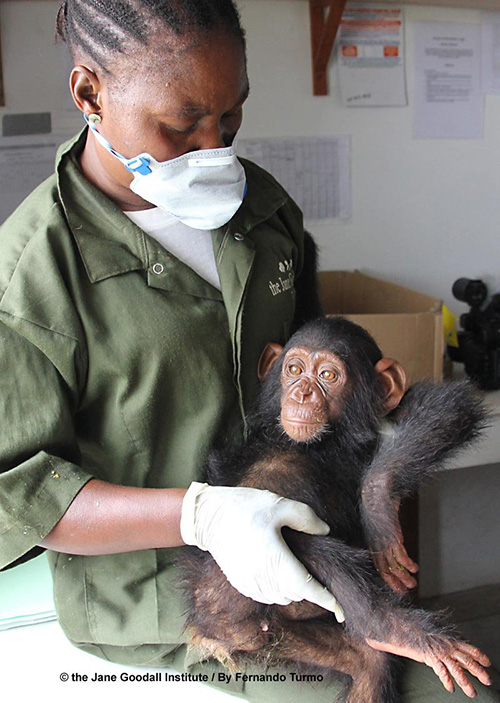 Willy, Chimpanzé Institut Jane Goodall Tchimpounga