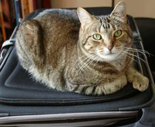 chat sur valise