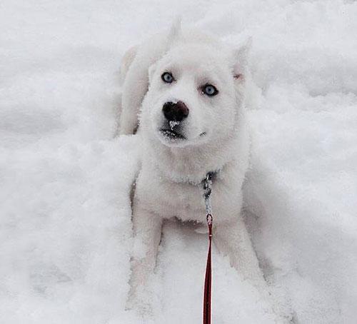 chien blanc neige