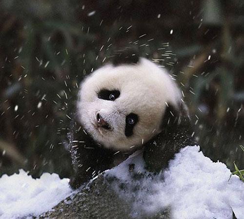 panda neige