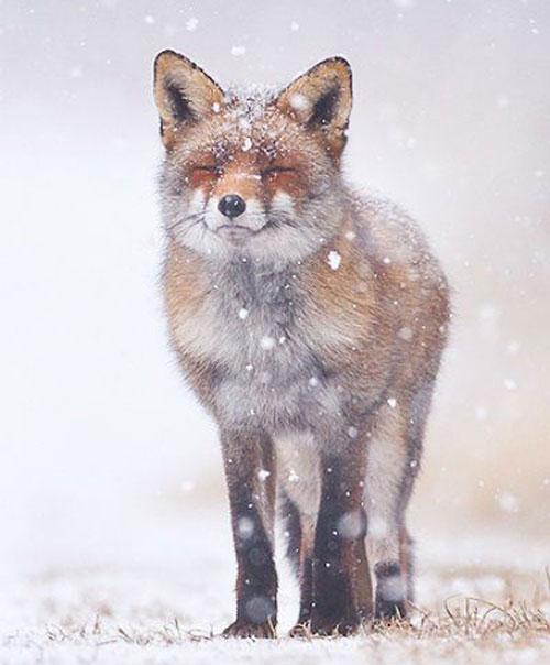 renard neige