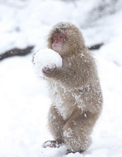 singe neige