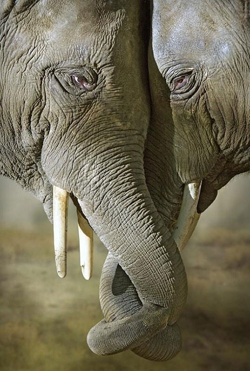 amour élephant