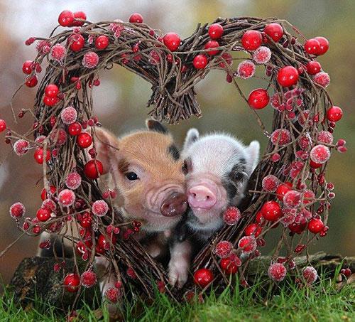 coeur cochon