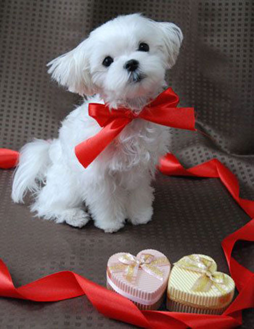 saint valentin chien