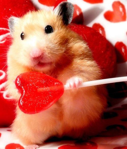 saint valentin hamster