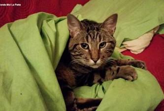 Sweety, un chat à l'adoption