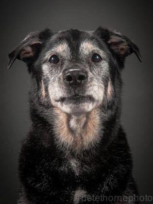 labrador noir croisé de 16 ans