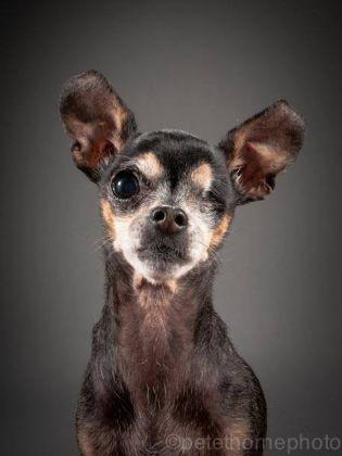 Chihuahua de 16 ans
