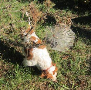 danger nid chenilles processionnaires pour les chien
