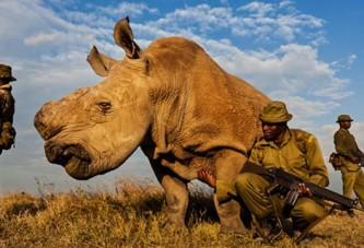 Des gardes armés protègent le dernier mâle rhinocéros blanc du Nord