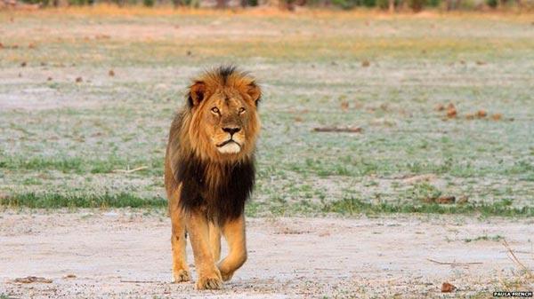 Cecil le lion à la crinière noire