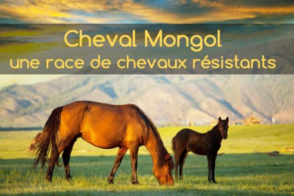 Cheval Mongol