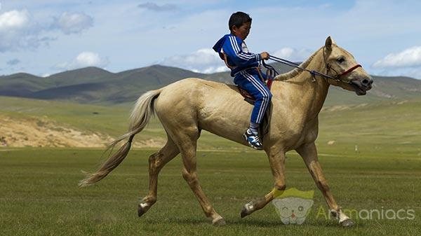 Cheval Mongol au Naadam