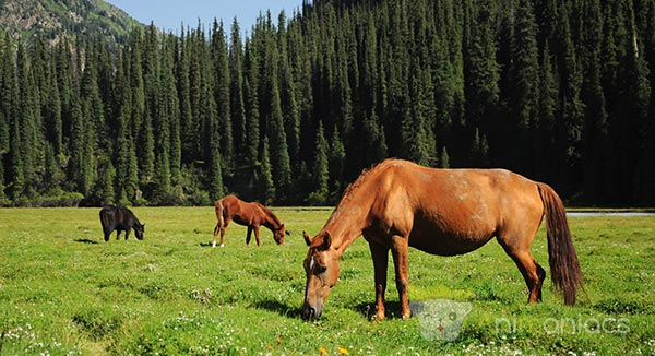 Chevaux en Mongolie