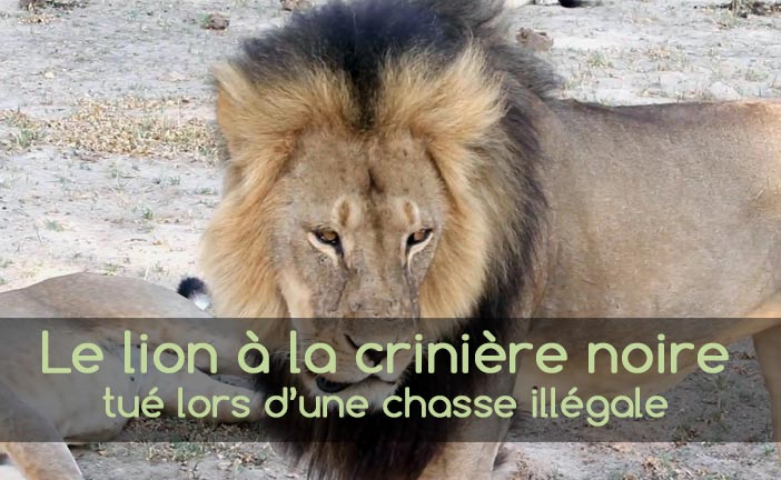 Cecil, le lion à la crinière noire