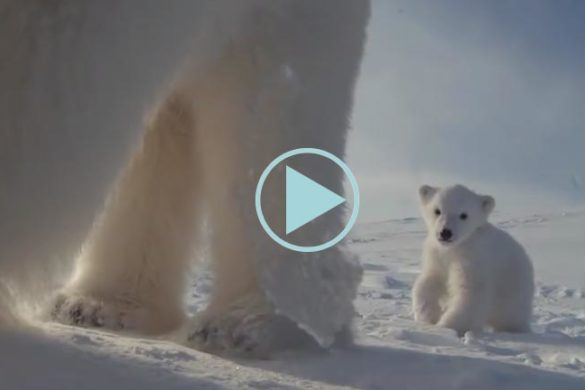 Une maman ours blanc film son ourson