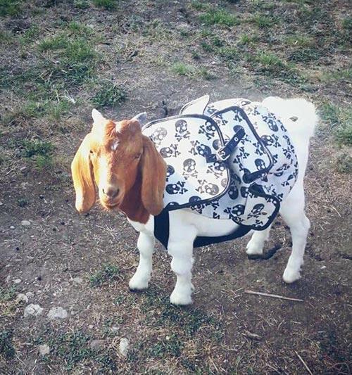 Chèvre prête pour la rentrée
