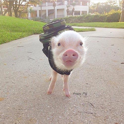 Cochon prêt pour la rentrée
