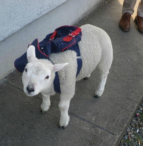 Mouton prêt pour la rentrée