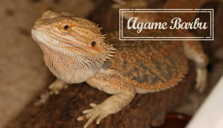 Agame Barbu