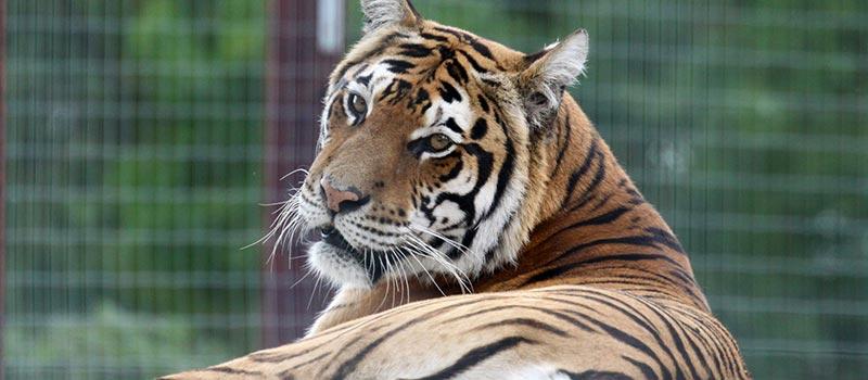 Caresser les tigres