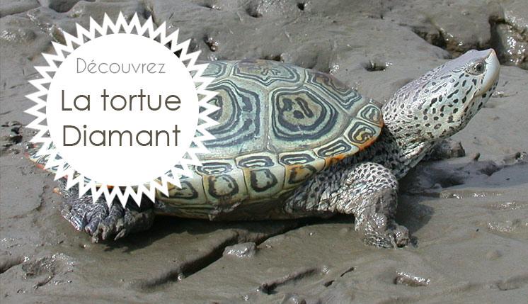 Tortue Diamant