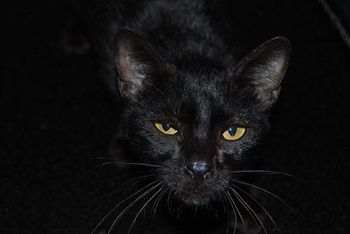 Chat noir panthère