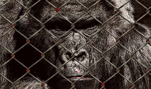 Gorille en cage