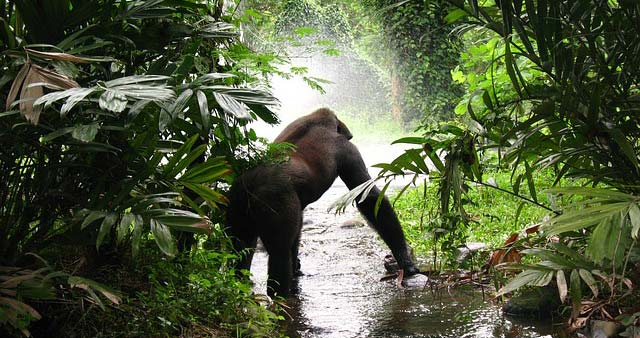 Gorille dans la nature