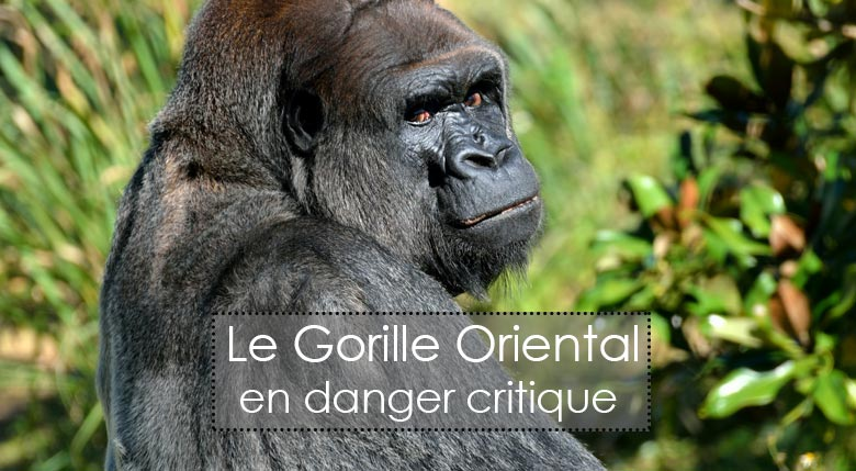 Gorille oriental en danger d'extinction