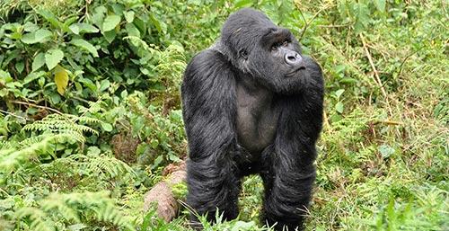 Gorille oriental