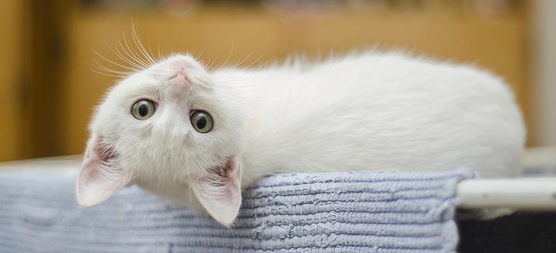 Préparer l'arrivée de votre chaton