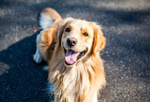 caractere golden retriever
